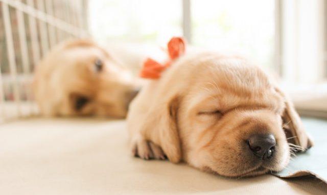 犬の耳掃除はどうする?自宅で出来るものなの?