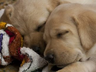 【オス・メス別】犬の発情期の行動や対処法、しつけ方をご紹介!