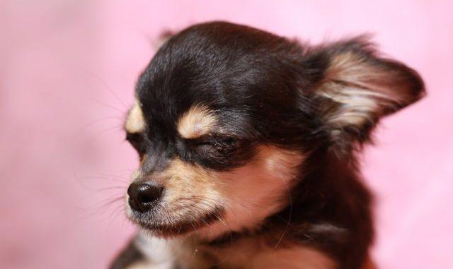 犬の涙やけの原因と症状と対策方法をご紹介。ケア用のローションを使うのもあり?