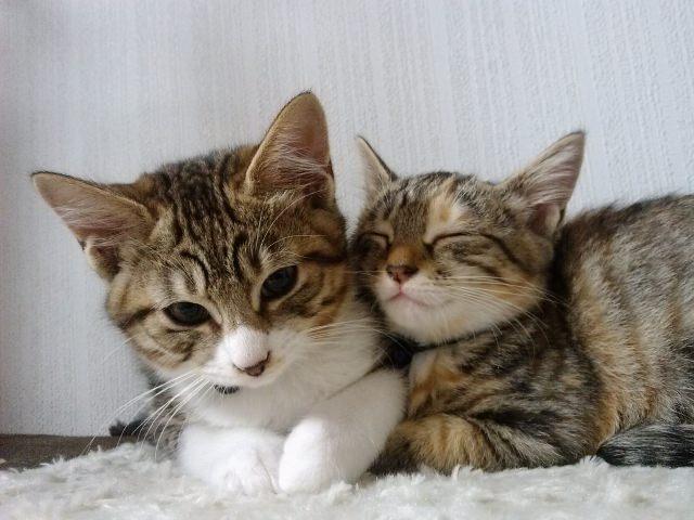 複数の猫を飼育する際に威嚇やケンカが発生しないおすすめの組み合わせは?