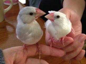 文鳥の雛の飼い方はどうする?手のり文鳥の育て方のコツをご紹介!