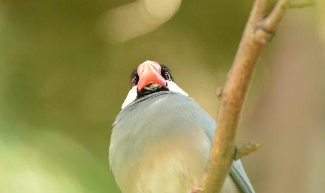 文鳥の飼い方は温度管理が重要!保温飼育の必要性をお伝えします!