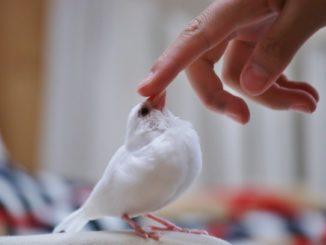 文鳥の雛はどう飼育する?ヒナの時期からの育て方のポイントやコツは何?