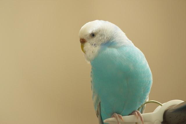 ペットとして人気のセキセイインコはおしゃべりな性格が特徴!?