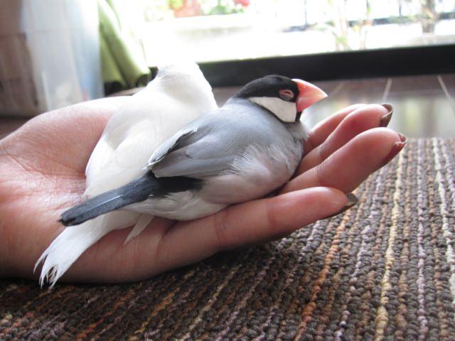 文鳥の雛の飼育を始める際のポイントはヒナの入荷時期を把握するところから