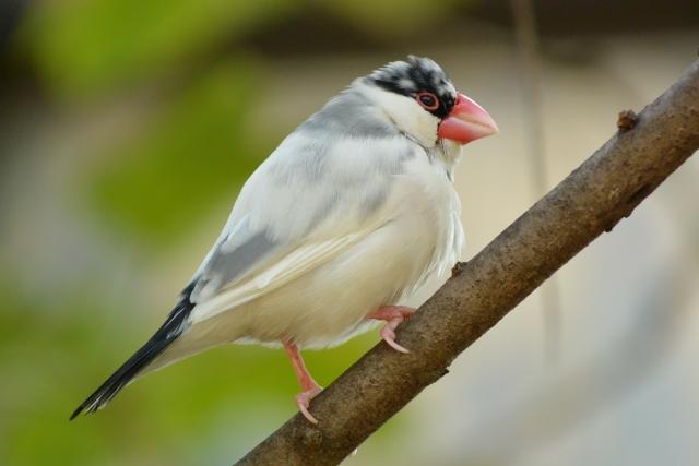 2. 文鳥が寂しがっている意味の鳴き声の種類