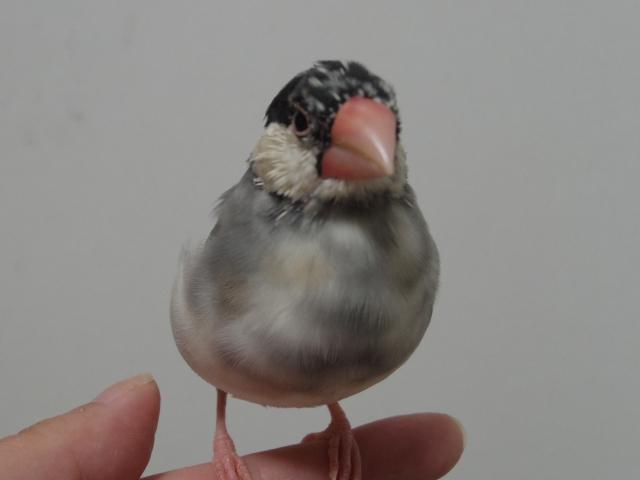 3. 文鳥が暴れるのを抑えて爪切りをするおすすめの方法