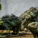 イグアナを温室で飼育したい!育てるコツや注意点をまとめて解説!