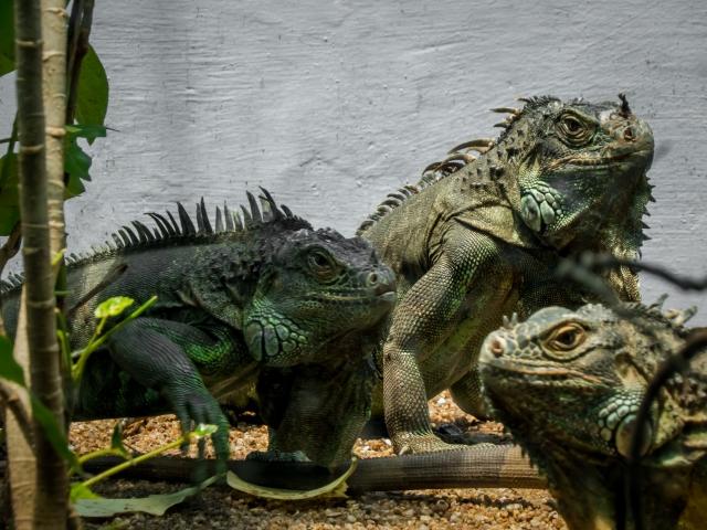 3. イグアナの飼育用におすすめの温室をご紹介