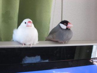 文鳥の鳴き声の大きさってどれくらい?おすすめの防音対策を総まとめ!