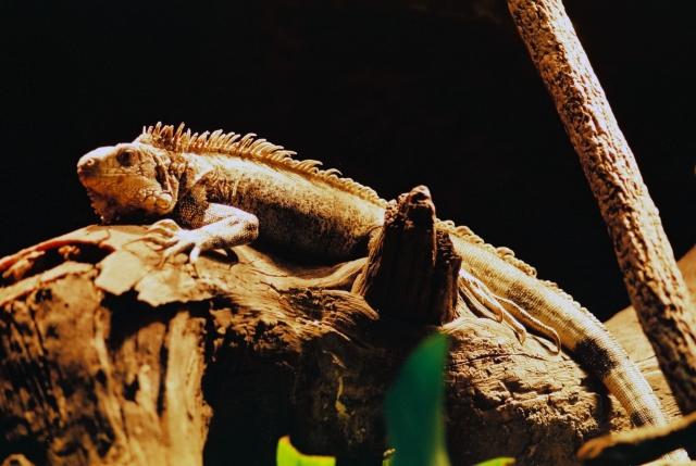1. イグアナを温室で飼育するメリット