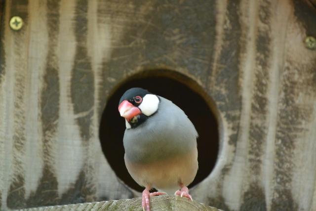 4. 文鳥が威嚇行動を示していると時はどうすればいいの?