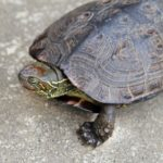 飼育している亀の水槽の臭いが気になる!その原因とおすすめの対処方法!