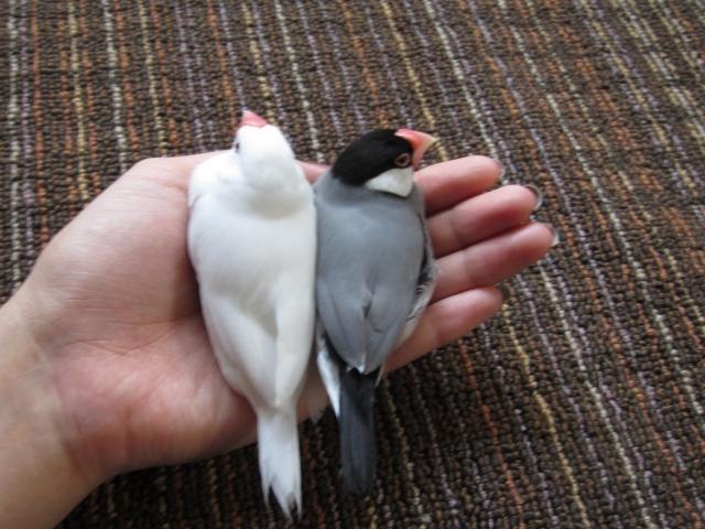 2. 文鳥に水浴びさせるときの注意点