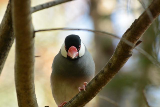 5. 文鳥が威嚇している意味の鳴き声の種類