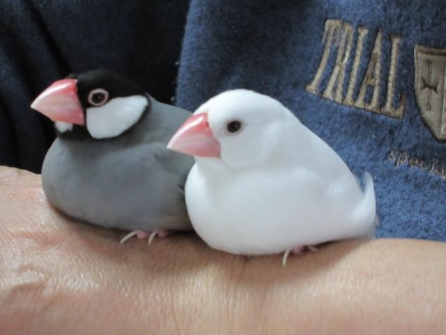 2. 文鳥の威嚇行動を事前に察知しよう