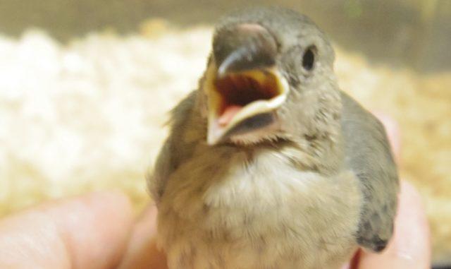 文鳥の雛へのさし餌の仕方!餌の作り方・回数・注意点をまとめてご紹介!