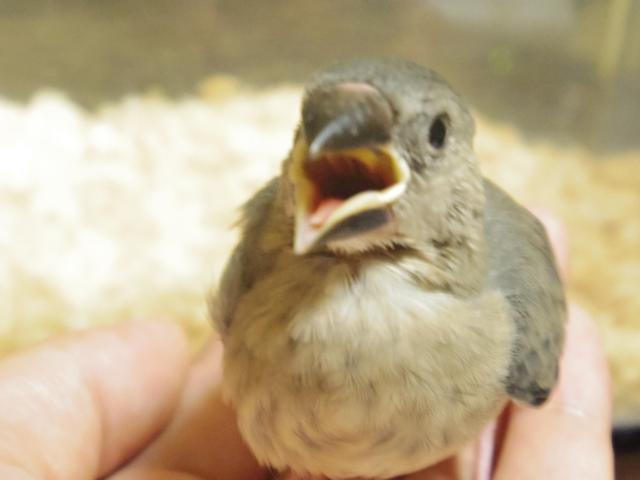 4. 文鳥の雛にさし餌する時の注意点