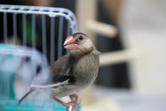 1. 文鳥の雛の餌の作り方