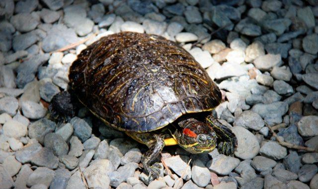 亀の飼育に不可欠な環境とは?元気に育てる飼い方のコツを総まとめ!
