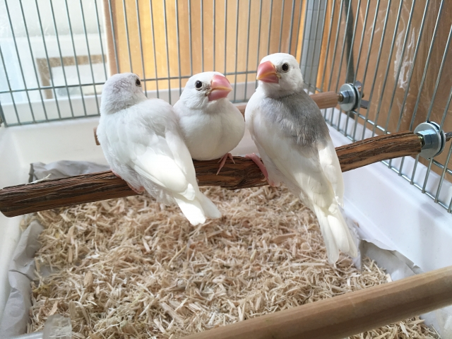 2. 文鳥の爪の止血方法