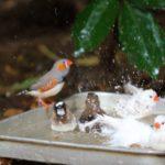 文鳥は冬でも水浴びする?水温管理のコツと注意点をまとめて解説!
