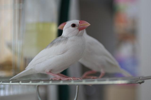 1. 文鳥は雛と成鳥でどっちの値段が高いの?