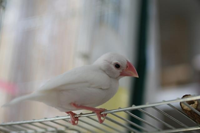 1. 文鳥の雛に水浴びをさせる時期の目安
