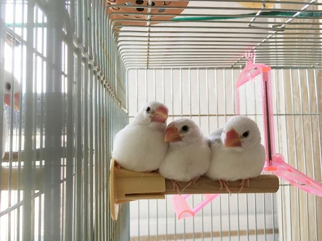2. 文鳥の雛へのさし餌の仕方