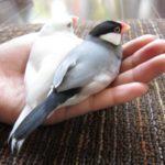文鳥と遊びたい!絶対に喜んでくれる楽しい遊び方のコツを公開!