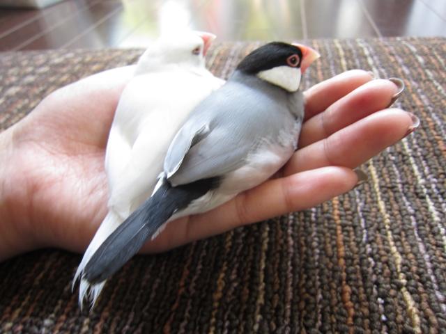 3. 文鳥を手乗りにして遊ぶ遊び方