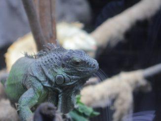 イグアナ初心者におすすめ!サイズが小さい&飼育しやすい種類を総まとめ!