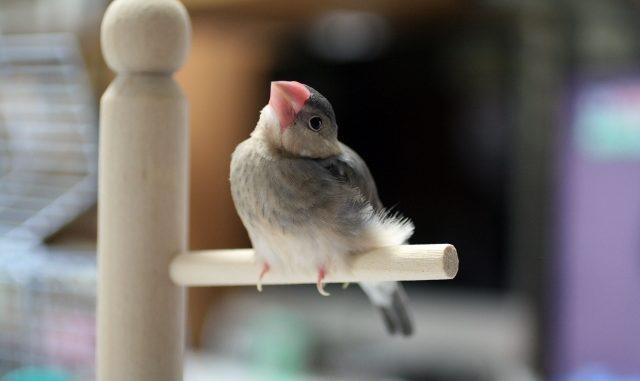 文鳥の雛換羽とは?その流れと注意点をまとめてご紹介!