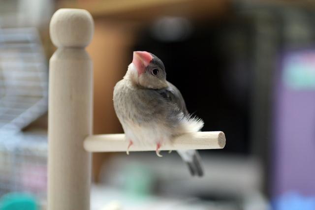 3. 雛換羽の注意点