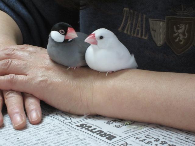 1. 文鳥の最もポピュラーな遊び方は放鳥