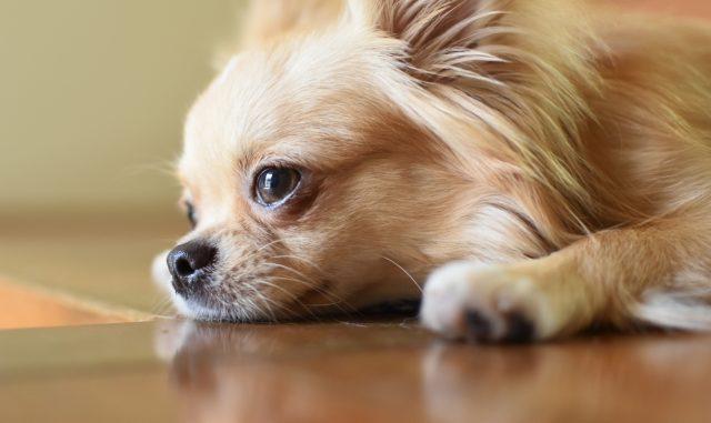 発情期の犬がうるさい!その原因とオススメなしつけ方法をまとめてご紹介!