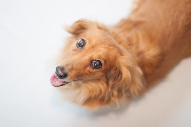 3. 発情期のメス犬がうるさい原因