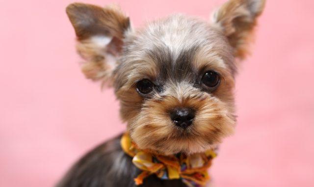犬の口臭対策におすすめ!歯磨き用のガムを上手に活用して予防しよう!